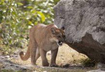 Puma ataca a runner