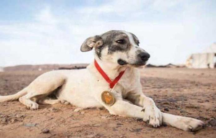 Perro maratonista